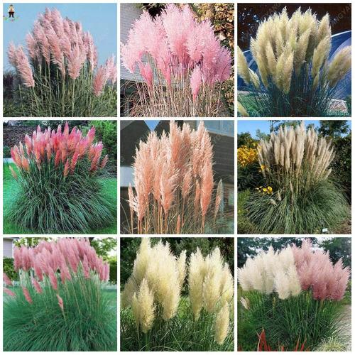 Imagem 1 de 6 de Capim Dos Pampas Combo 50 Sementes Rosa E Branco Flor Grass