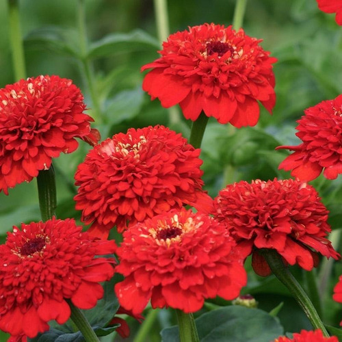 15 Semillas Flor Zinnia Rojo + Obsequio Germinación
