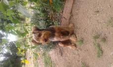 Monta De Perro Yorkshire Terrier (esquilado)
