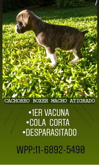 Cachorro Boxer Macho Vacunado