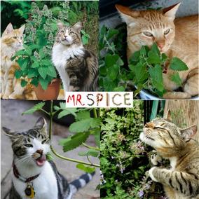 Sementes De Erva Dos Gatos Catnip Ideal P/ Jardins Ou Vasos
