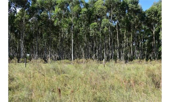 Forestación En Venta - Eucaliptus Grandis