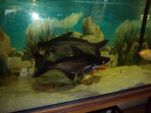 Imagen 1 de 2 de Bellos Y Hermosos Tiburones En Venta