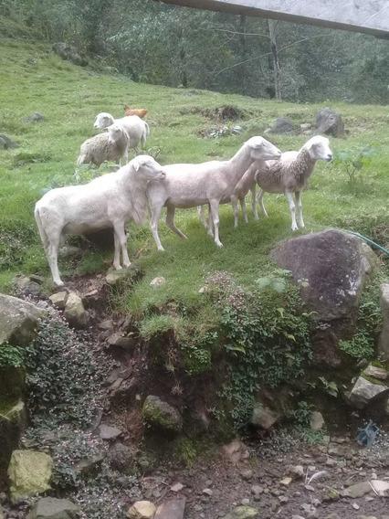 Borregos En Xico Viejo Ver.
