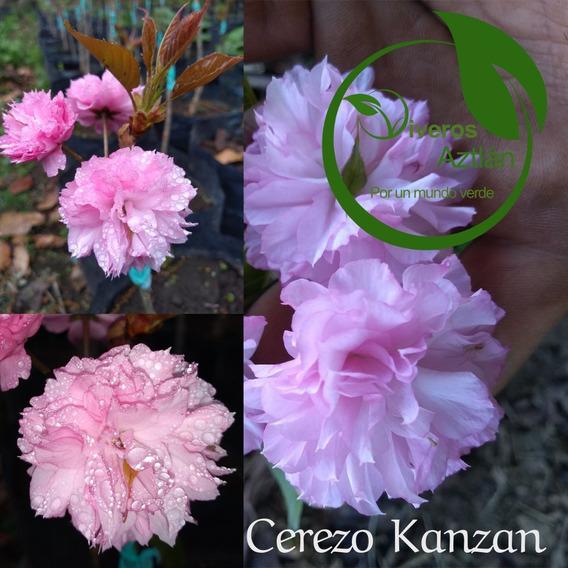 Cerezo Sakura Kanzan (flor Rellena Rosa)