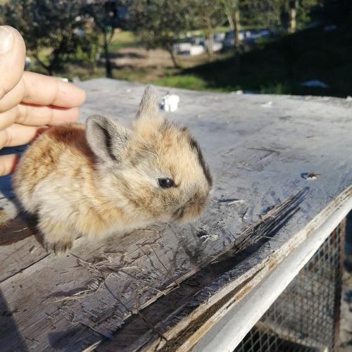 Imagen 1 de 4 de Conejos León Lop
