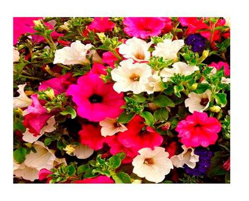 Semillas Petunias Flores Plantas Decoración Jardin Flor 1a