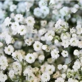 600 Sementes De Mosquitinho Branco