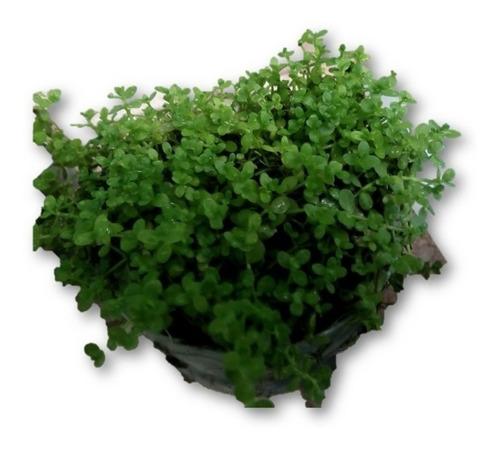 Planta Para Acuarios Montecarlo (micranthemun) Tapizante