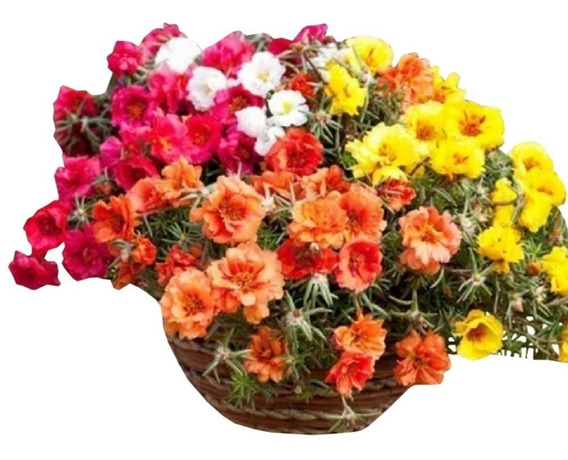 1100 Sementes De Flor Onze Horas # Envio Gratis