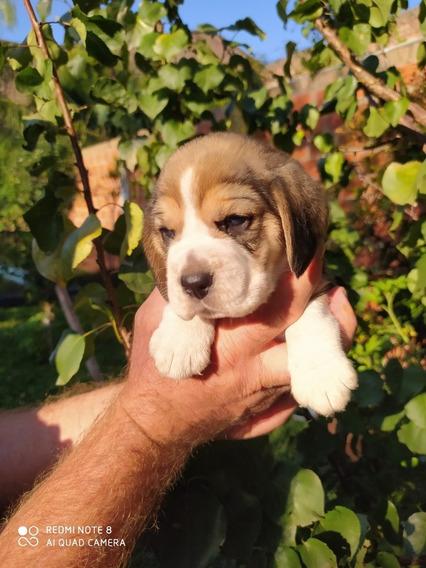 Beagle Cachorros Tricolor