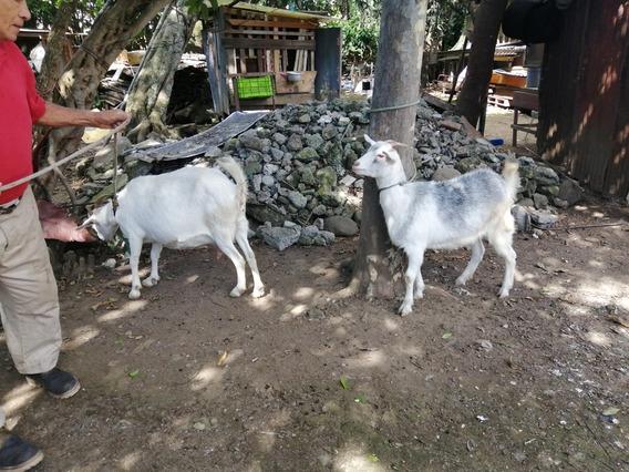 Cabras Madre E Hija