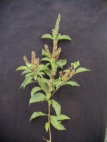 Alfavacão Alfavaca - 50 Sementes Para Plantio