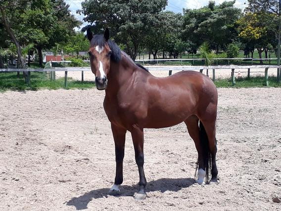 Cavalo Brasileiro De Hipismo - Registrado Bh