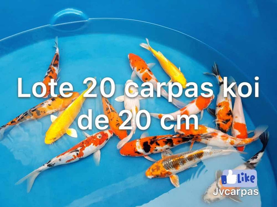 Lote Carpas Nishikigoi Carpas Koi Carpas Ornamentais