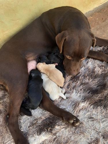 Imagem 1 de 5 de Labrador Fêmea Com 10 Dias