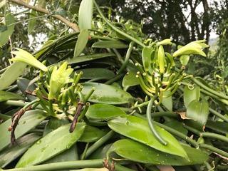 Esquejes De Vainilla Planifolia