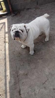 Bulldog Ingles De Servicio De Monta