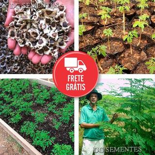 Moringa Oleifera - Sementes Frescas Para Mudas - Promoção!