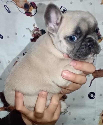 Imagem 1 de 4 de Filhotes Bulldog Exóticos