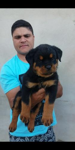 Filhotes De Rottweiler Com Pedigree Cbkc E Microchip