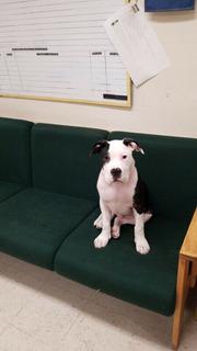 Bulldog Mix Puppy