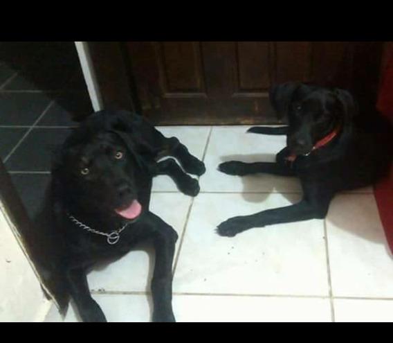 Doa- Se Dois Labradores