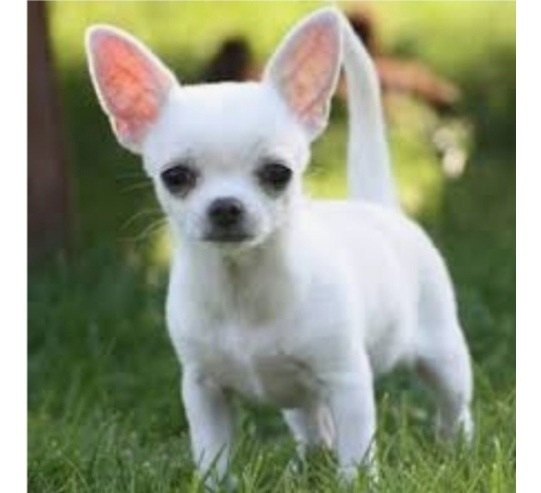 Criadero Exclusivo De Chihuahuas
