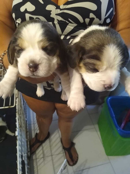 Cachorros Beagle: 2 Machos Y 1 Hembra