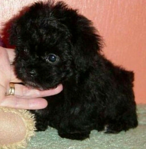 Cachorros Caniche Mini Toy Negros !!