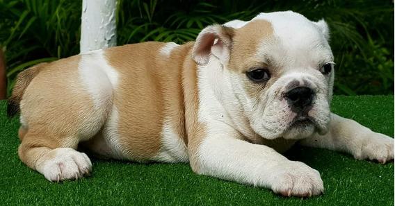 Femea Filhote De Bulldog Ingles