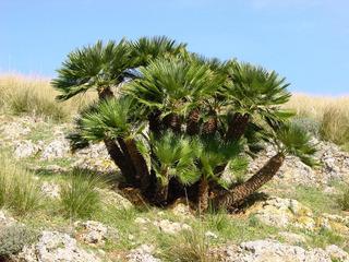 Plantula De Palmito (chamaerops Humilis)