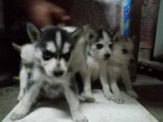 Cachorros Husky Siberianos Puros
