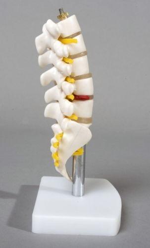 Columna Vertebras Lumbar Sacro Coccix Medico Anatomico