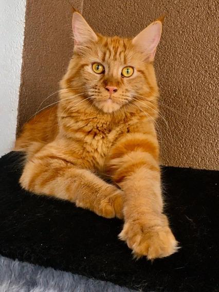 Maine Coon - Gato Gigante - Gatil Luzarcoon