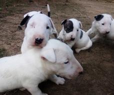 Bullterrier 4 Hembras Y 2 Machos Casanare
