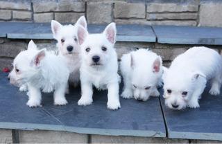 Cachorros De West Highland Terrier