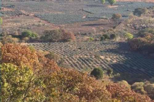 Se Vende Terreno De 588 Hectáreas, Muy Cerca De Tequila Jalisco.