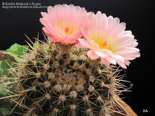 50 Semillas De Cactus Parodia Concina