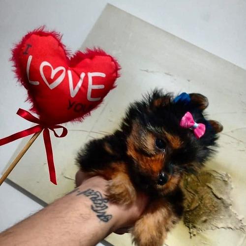 Baby Yorkshire Terrier