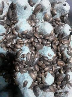 Cucaracha Blaptica X 50 Alimento Vivo Gecko Erizo Tarántula