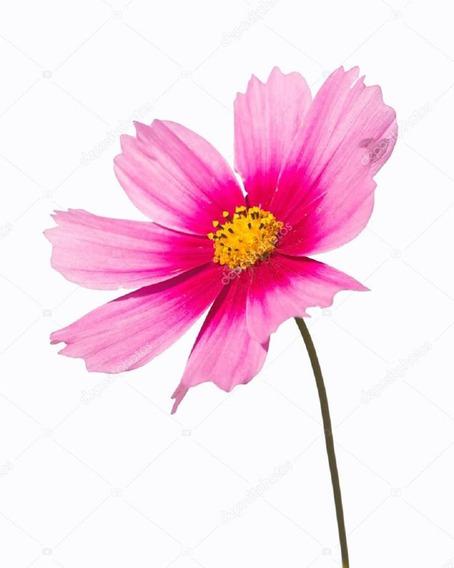 55 Sementes Flor Cosmea Sensação Sortida # Envio Grátis!