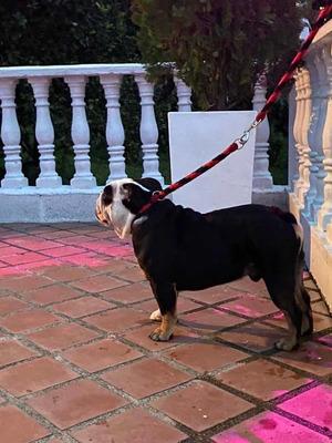 Monta Reproductor Bulldog Ingles Blacktri