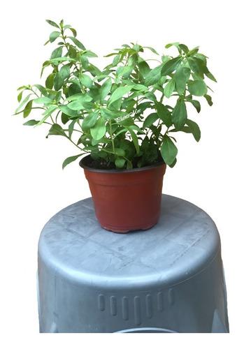 Imagen 1 de 1 de Paquete De 2 Plantas Stevia Dulce De 25 Cms. Aprox.