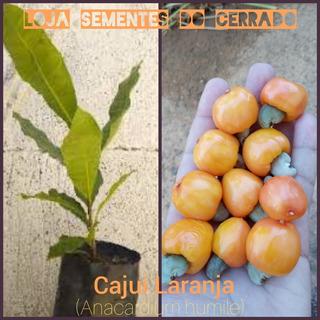Cajuí Laranja Do Cerrado ( Anacardium Humile) - 2 Mudas