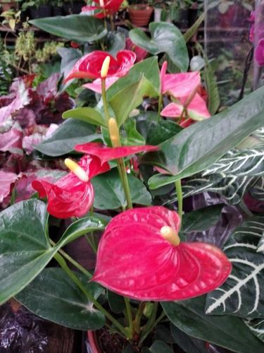 Planta Anturio Floral Interior