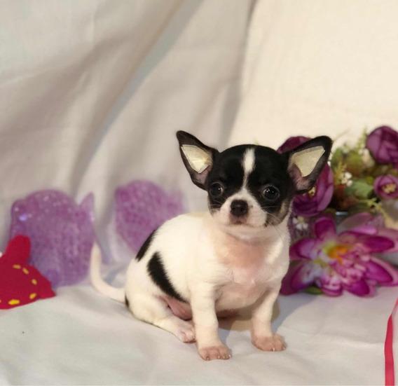 Chihuahua Hembra Mini Mini