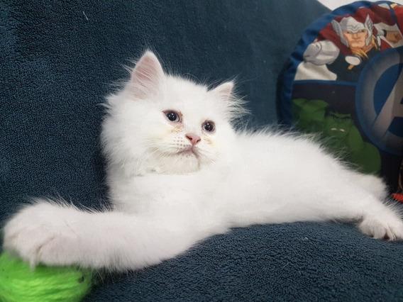 Lindo Gato Persa De Olhos Azuis