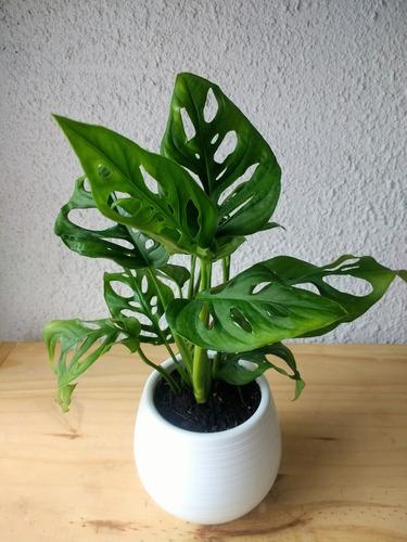 Planta Philodendro Peruviano Monstera Con Maceta Autorriego