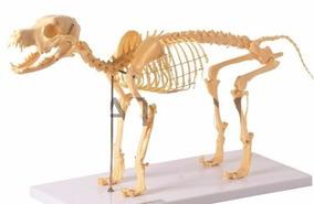 Esqueleto Anatomico Cao Cachorro Vet Anatomia Animal